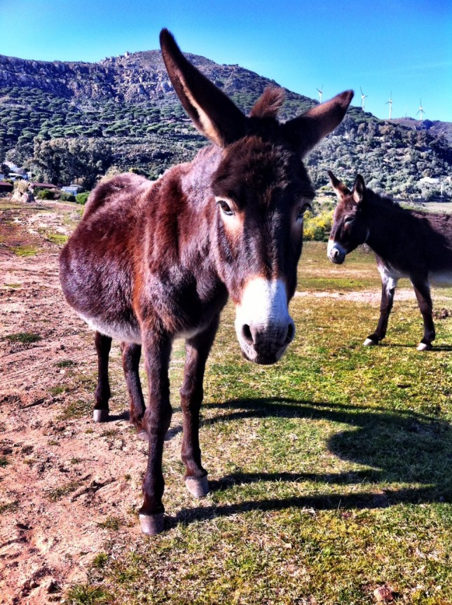 Donkeys near Tarifa - the 'Jack' was a very 'talented' chap, which probably explains why this one appears pregnant