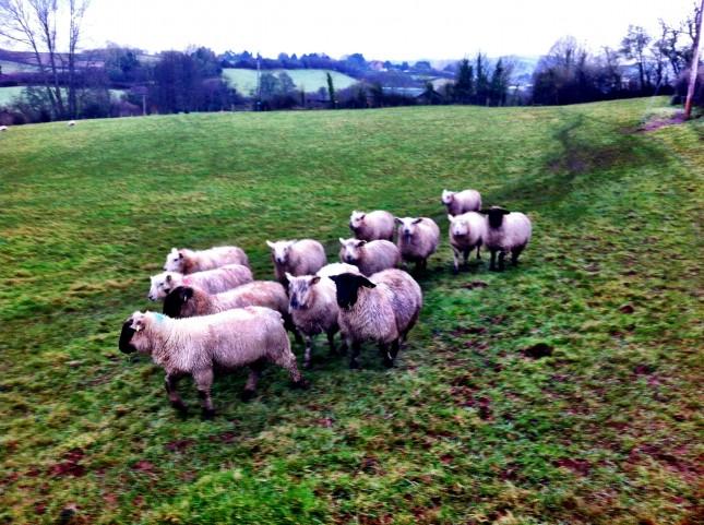 A Posse of Menacing Sheep