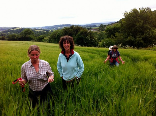 Caroline, Mel, Kate and Paul wading through the Barley