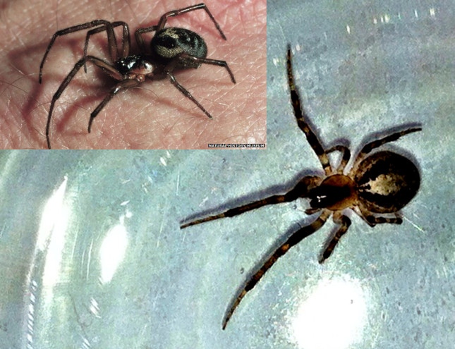 A False Widow Spider?